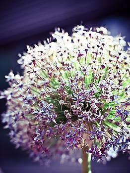 Purple Onion by Tamara Hamula