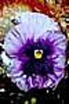 Purple Pansy Against Red by Shirley Sacks