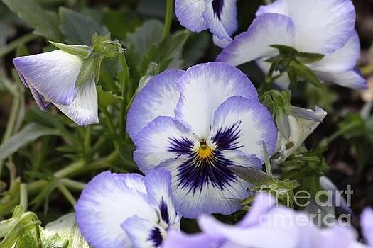 Purple Pansy by Patricia Alexander