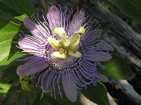 Purple Passion by Brenda Konitzer