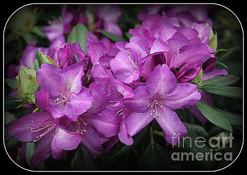Purple Passion Rhododendron by Dora Sofia Caputo Photographic Art and Design
