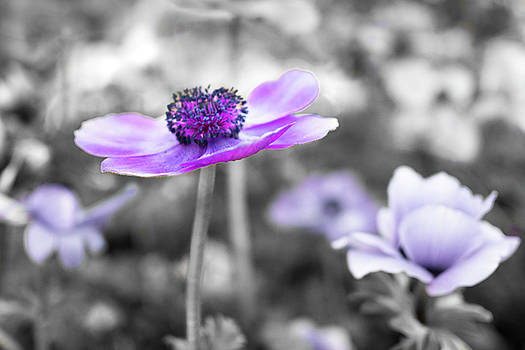 Purple Petals by Crystal Hoeveler