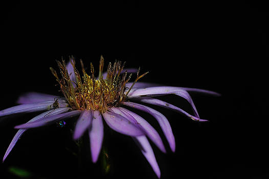Paul W Sharpe Aka Wizard of Wonders - Purple Petals
