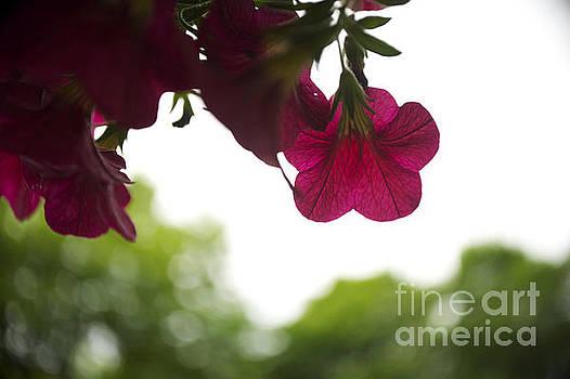 Elaine Mikkelstrup - Purple Petunia