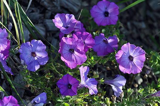 Purple Petunias by D Nigon