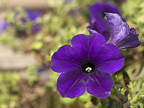 Purple Petunias by Kathryn Whitaker
