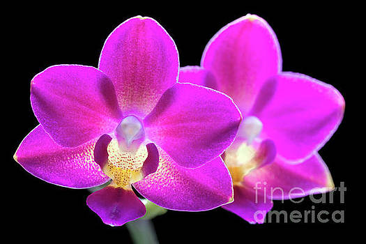 Purple Phalaenopsis #0855 by David Perry Lawrence