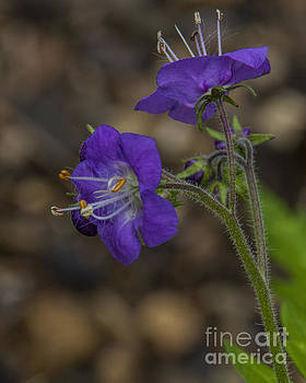 Barbara Bowen - Purple Phalcelia