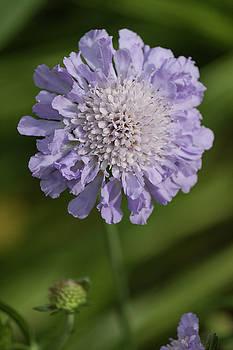 Purple Pincushion Glower II by Suzanne Gaff