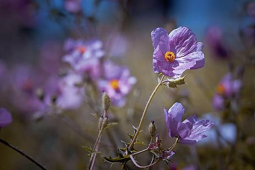 Purple Poppies by Linda Unger