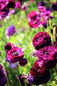 Purple Poppies by Megan Swormstedt