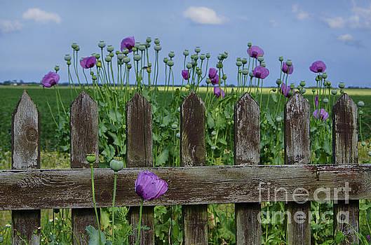 Purple poppies by Steev Stamford