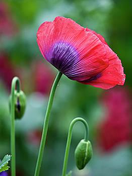 Heiko Koehrer-Wagner - Purple Poppy Flower