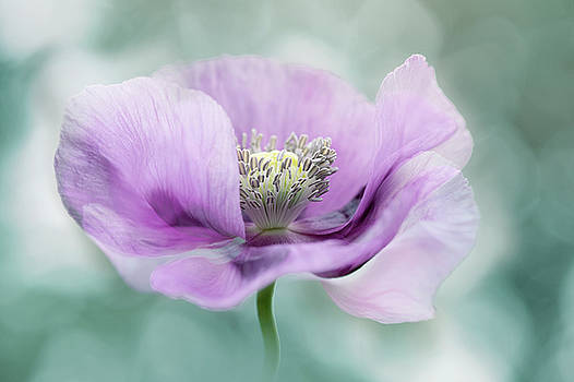 Purple Poppy by Jacky Parker
