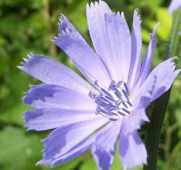 Purple Prairie Flower by Anna Villarreal Garbis