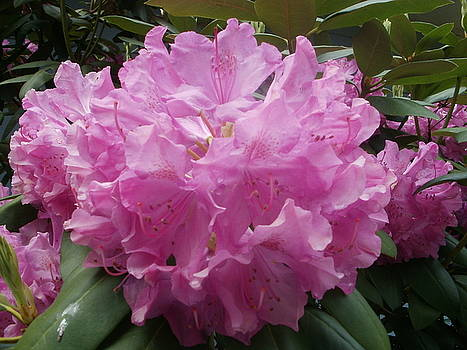Purple Rhododendron by Glenda Barrett