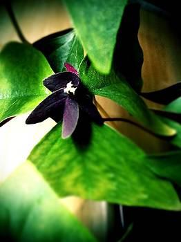 Purple Shamrock by Walt Stoneburner