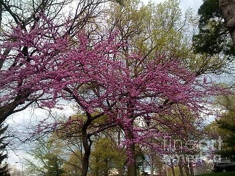 Purple Spring Trees by Rachel Maynard