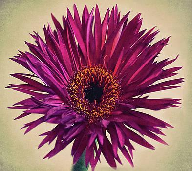 Purple Springs Spider Gerbera Daisy  by Sandi OReilly