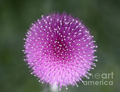 Purple Thistle by Patricia Alexander