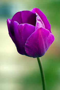 Purple Tulip Flower by Pixie Copley
