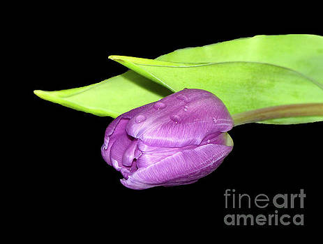 Purple Tulip by Lynn Bolt
