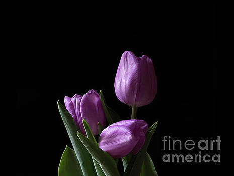 Purple Tulips by Andrea Silies