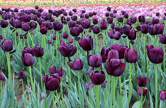 Purple tulips by Maureen Jordan