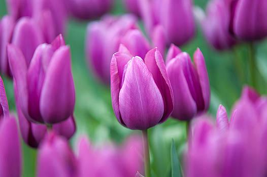 Jenny Rainbow - Purple Tulips of Keukenhof