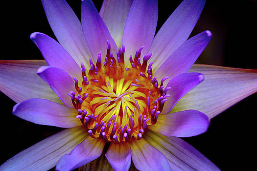 Purple Water Lily - Greeting Card by Karmen Chow