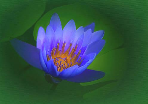 Purple Water Lily by Kay Kochenderfer