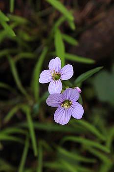 Purple wildflowers by Maureen Jordan