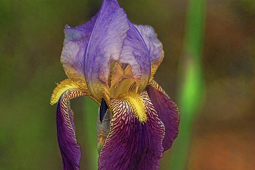 Purplish Iris by Rick Friedle