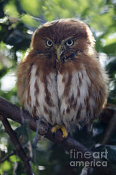 Pygmy owl by Steev Stamford