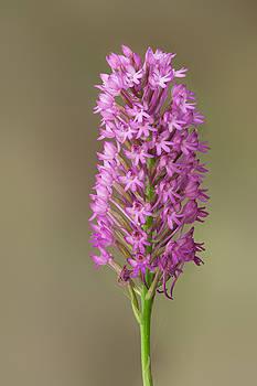 Yuri Peress - Pyramidal Orchid