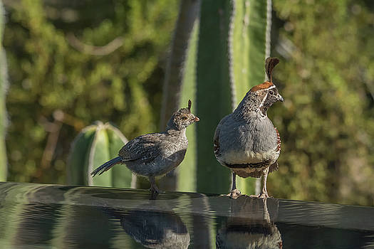 Quail Juvenile and Adult 3061 by Tam Ryan