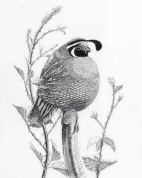Quail Sentry by Timothy Livingston