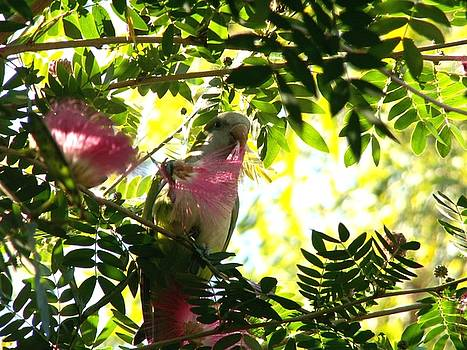 Quaker Parrot with Mimosa Flower by Theresa Willingham