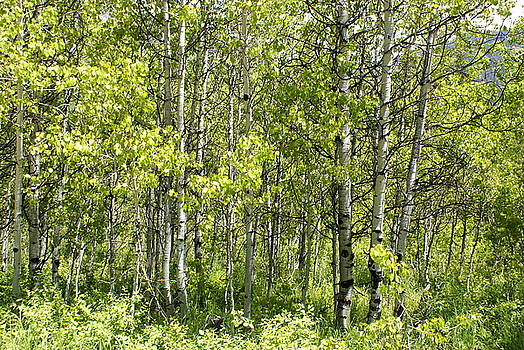 Quaking Aspens 2 by Cynthia Powell