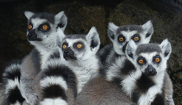 Quartet Of Ring-tailed Lemurs by Margaret Saheed