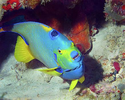 Pauline Walsh Jacobson - Queen Angelfish, U. S. Virgin Islands 7