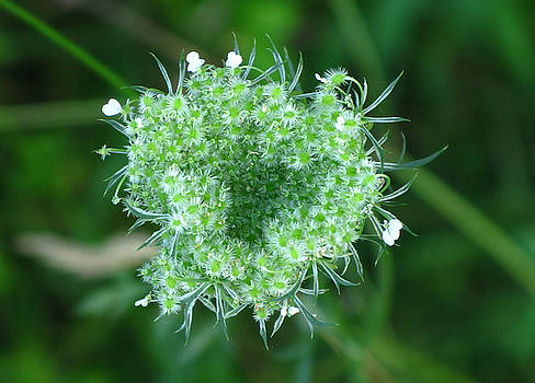 Queen Anne's Lace 1 by Candice Wright