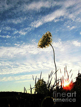 Queen Anne's Lace at Sunset by Ron Tackett