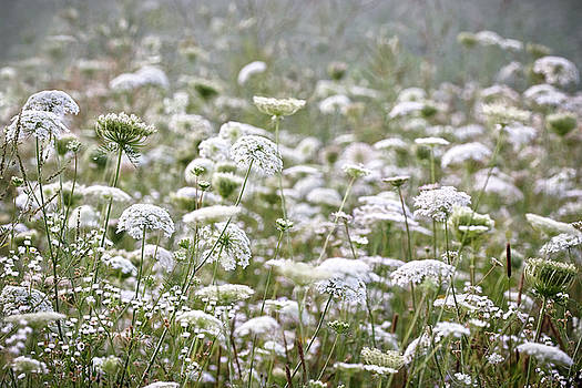 Queen Anne's Lace Hazy Summer by Angie Rea