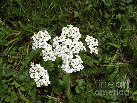 Queen Anne's Lace by Jessica Wood