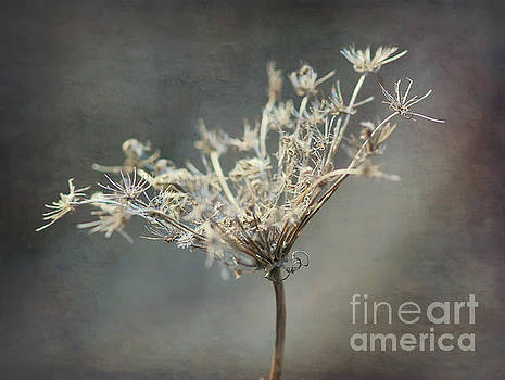Queen Anne's Lace by Kerri Farley