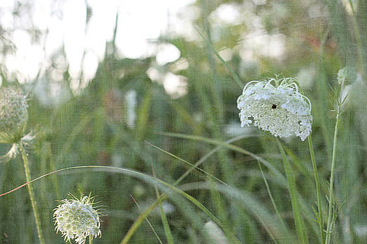 Queen Anne's Lace by Sherry Hahn
