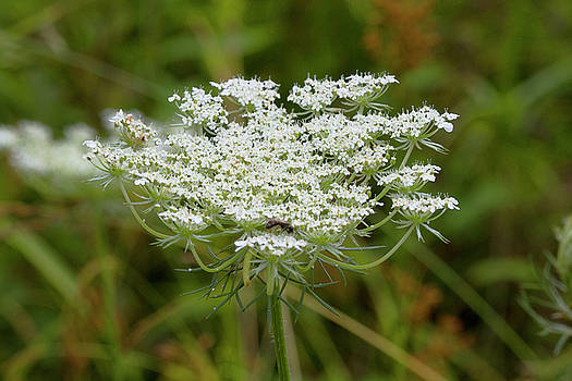 Queen Anne's Lace Wildflower by Kathy Clark