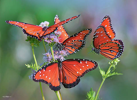 Queen Butterflies by Tim Fitzharris