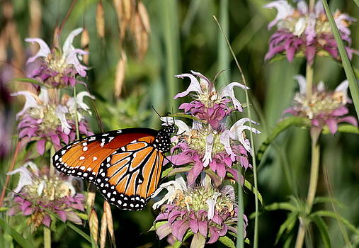 Queen Butterfly and Purple Wildflowers by Sheila Brown